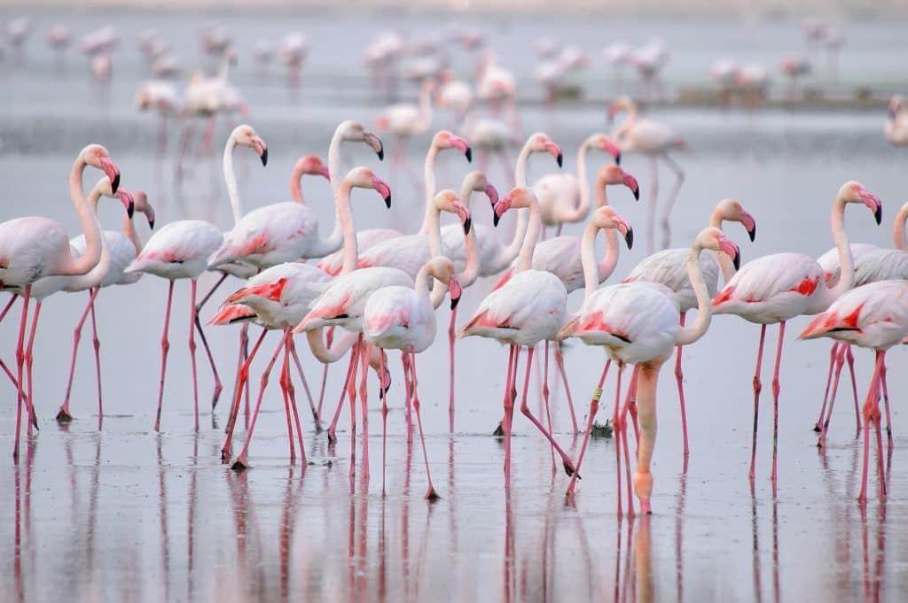 Fenicotteri rosa nella laguna di torrevieja